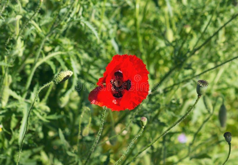 Το καλοκαίρι, μια όμορφη κόκκινη παπαρούνα άνθισε στον κήπο στοκ φωτογραφία με δικαίωμα ελεύθερης χρήσης