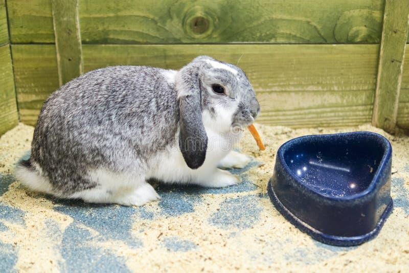 το καρότο τρώει το κουνέλι στοκ φωτογραφίες