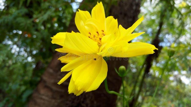 Το κατά το ήμισυ ανθισμένο κίτρινο λουλούδι χρώματος με τους κόκκινους ψεκαστήρες στοκ φωτογραφία με δικαίωμα ελεύθερης χρήσης