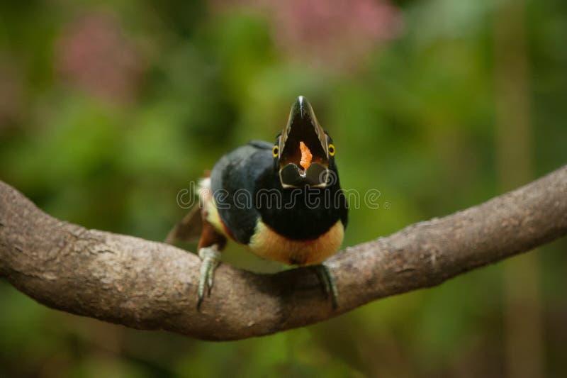 Το κατανάλωση πιαμένο aracari toucan στοκ εικόνες