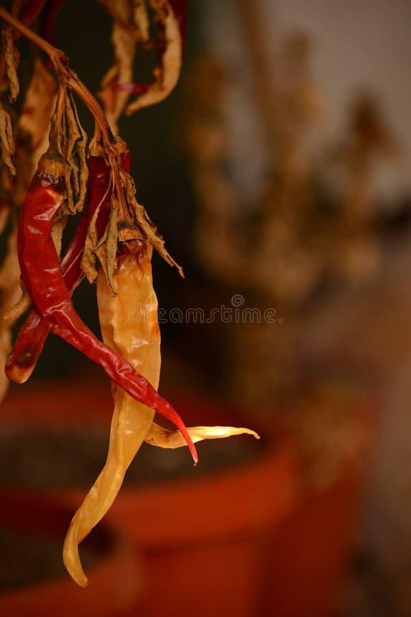 Το καυτό πιπέρι περιμένει στοκ εικόνα με δικαίωμα ελεύθερης χρήσης