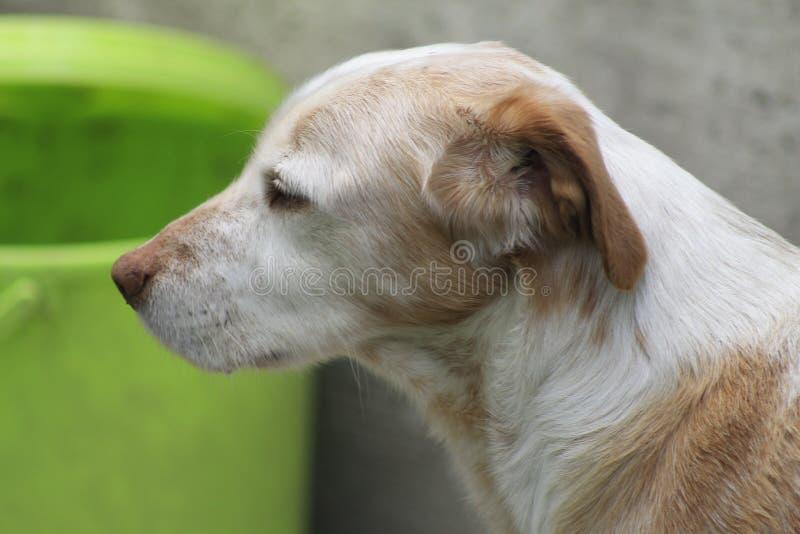 Το καφετί σκυλί διάσωσης μιγμάτων που ανατρέχει γέρνει στοκ εικόνα