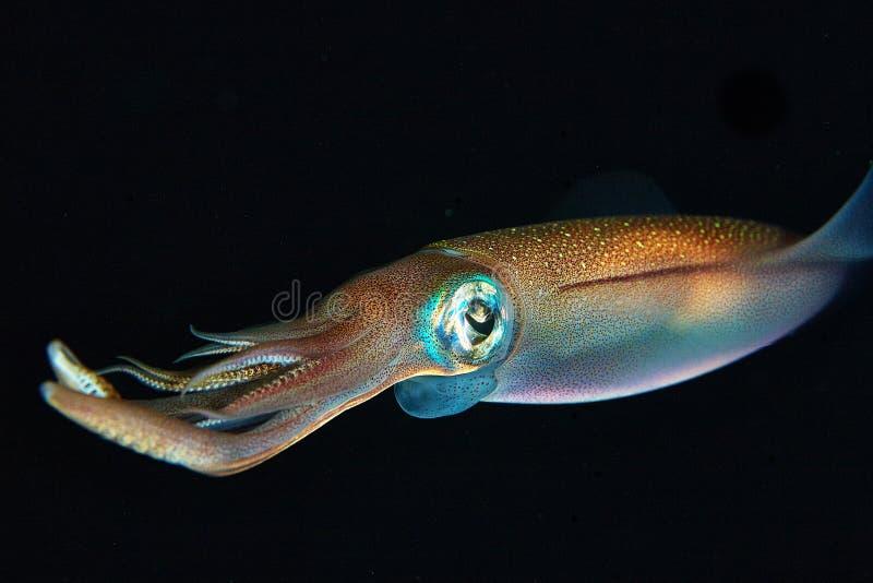 Το καλαμάρι κάτω από το νερό κολυμπά στο μαύρο υπόβαθρο στοκ εικόνα