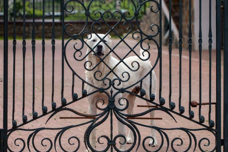 Το κεντρικό ασιατικό σκυλί ποιμένων alabai που στέκεται στην πύλη στοκ εικόνα με δικαίωμα ελεύθερης χρήσης