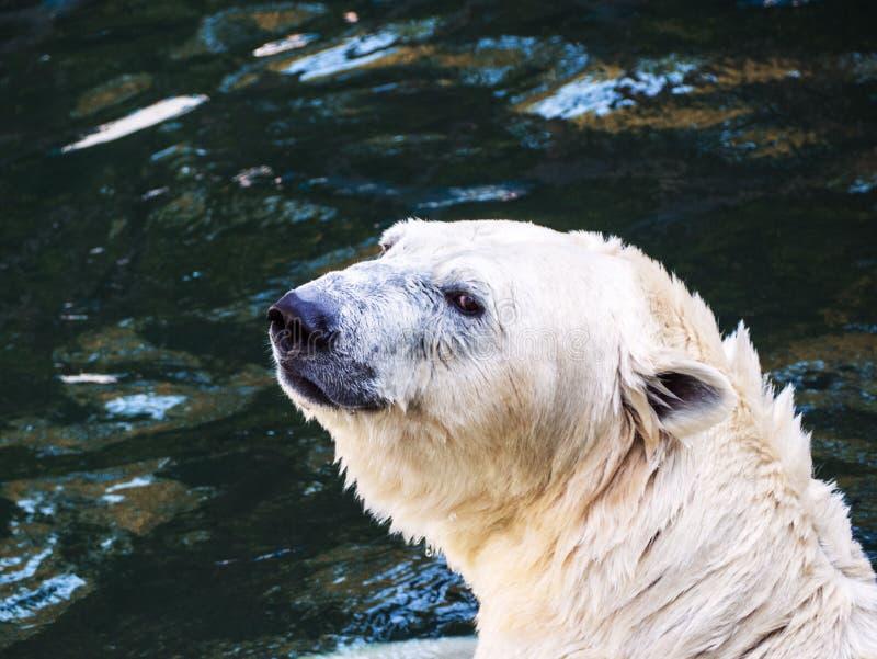 Το κεφάλι της πολικής αρκούδας, που λούζει στο νερό στοκ φωτογραφία