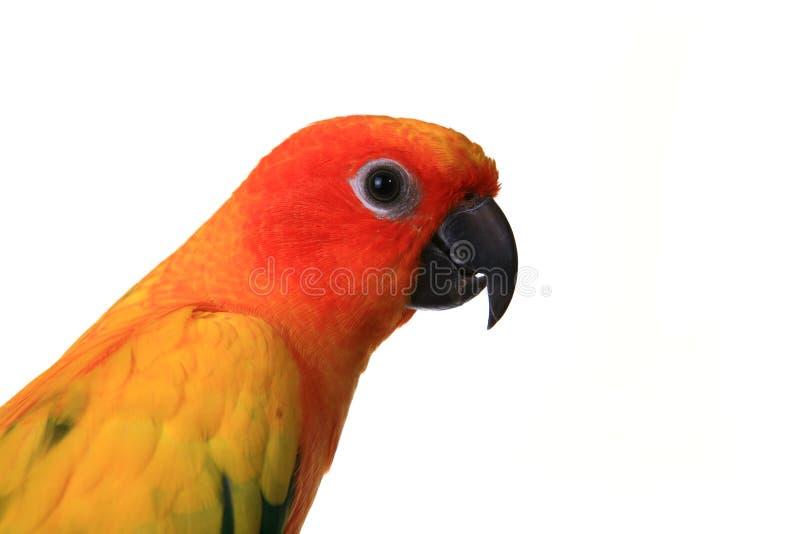 το κεφάλι conure πουλιών εβλάστησε τον ήλιο στοκ εικόνα