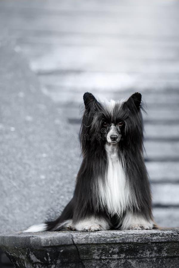 Το κινεζικό λοφιοφόρο σκυλί είναι στο έδαφος άσπρα σκαλοπάτια στο υπόβαθρο στοκ εικόνα