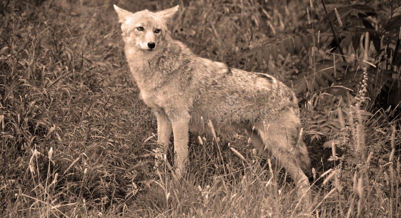 Το κογιότ, επίσης γνωστό ως Αμερικανός jackal στοκ εικόνες