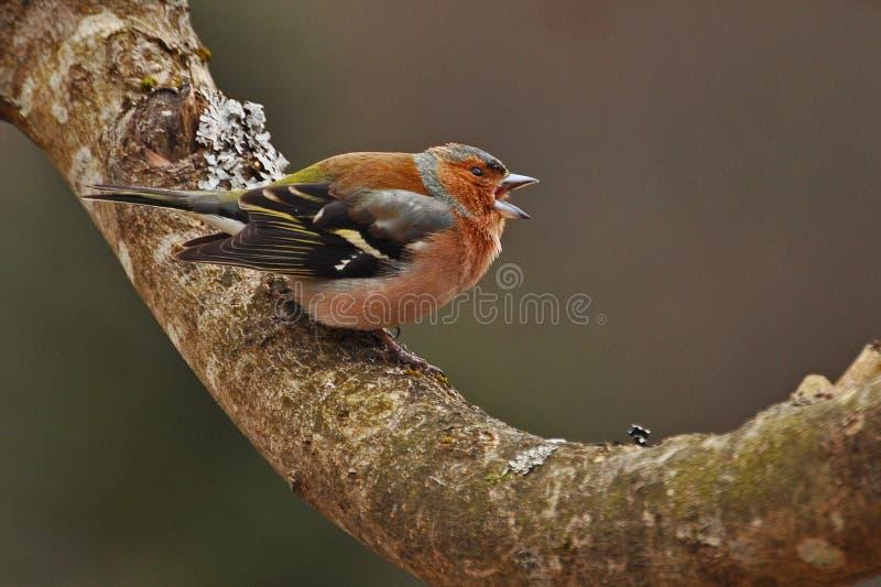 Το κοινό chaffinch, αρσενικό Fringilla coelebs στοκ εικόνες με δικαίωμα ελεύθερης χρήσης