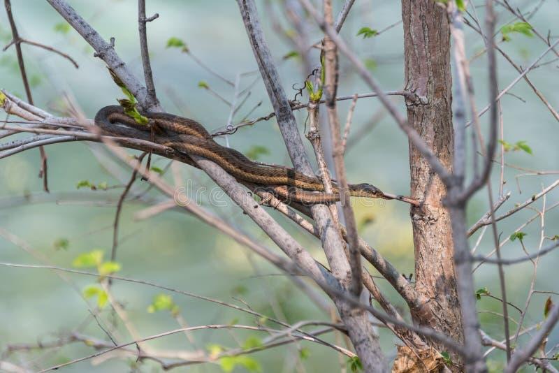 Το κοινό Garter φίδι περιμένει υπομονετικά ακόμα σε έναν θάμνο κοντά στην άκρη του νερού στον ποταμό Niagara στοκ εικόνες