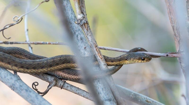 Το κοινό Garter φίδι περιμένει υπομονετικά ακόμα σε έναν θάμνο κοντά στην άκρη του νερού στον ποταμό Niagara στοκ φωτογραφία με δικαίωμα ελεύθερης χρήσης