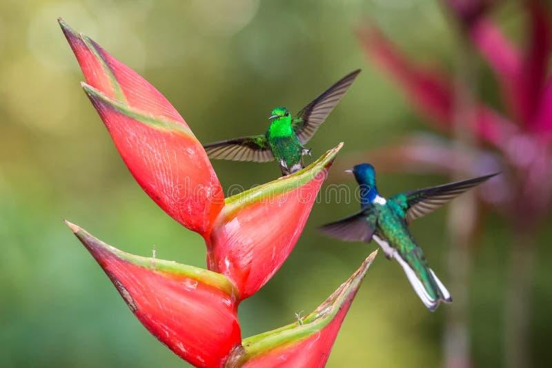 Το κολίβριο χαλκός-το κολίβριο και η άσπρος-necked jacobin πάλη στο κόκκινο λουλούδι , πράσινο υπόβαθρο στοκ εικόνα με δικαίωμα ελεύθερης χρήσης