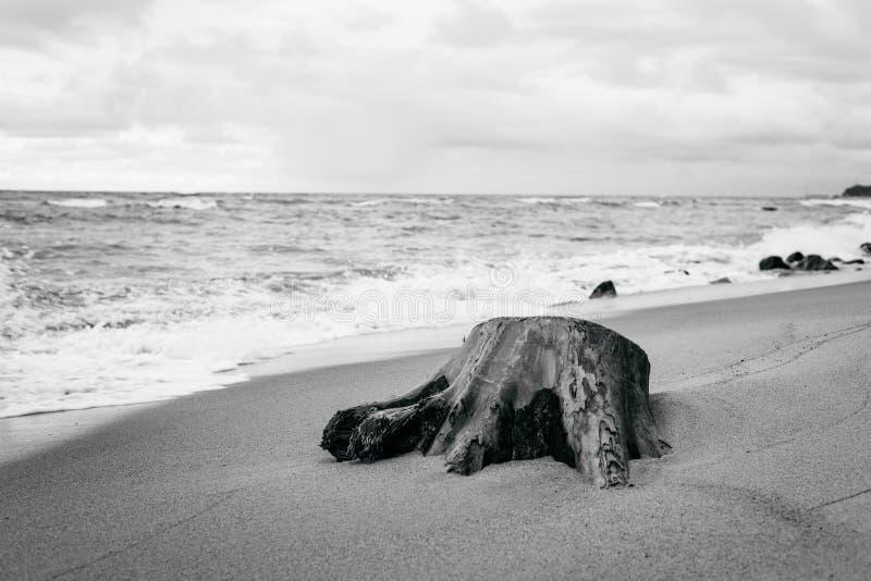 Το κολόβωμα δέντρων στην ακτή της θάλασσας της Βαλτικής ελεύθερη απεικόνιση δικαιώματος