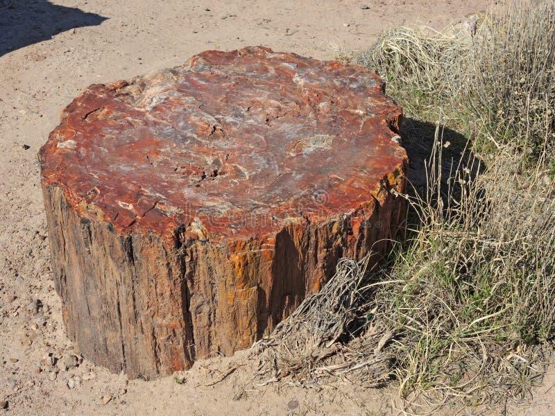 Το κολόβωμα ενός αρχαίου δέντρου που γυρίζουν στην πέτρα στο πετρώνω δάσος στοκ φωτογραφίες
