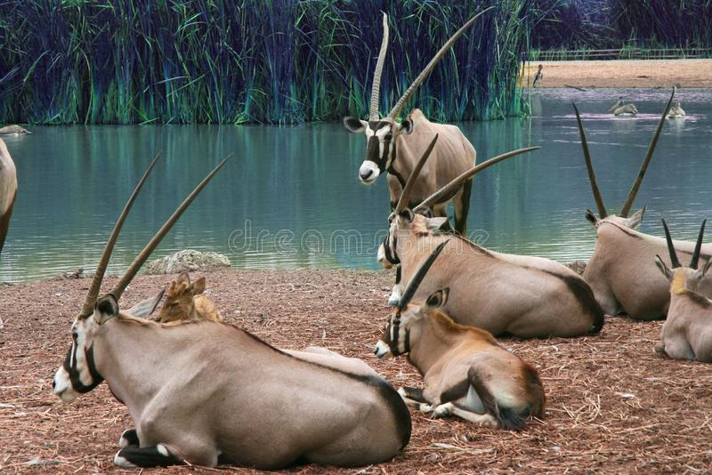 Το κοπάδι του thomsonii Thomson Gazellas Eudorcas γύρω από την πράσινη λίμνη, στο φυσικό υπαίθριο ζωολογικό κήπο, Ταϊλάνδη στοκ φωτογραφία με δικαίωμα ελεύθερης χρήσης