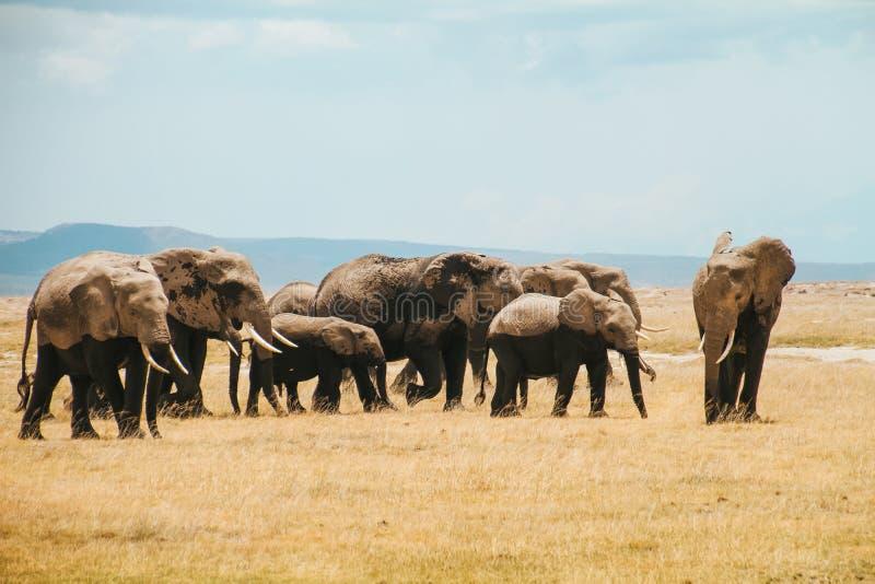 Το κοπάδι των ελεφάντων Amboseli τοποθετεί τη σαβάνα της Κένυας στοκ εικόνες με δικαίωμα ελεύθερης χρήσης