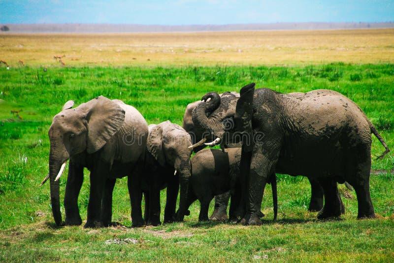 Το κοπάδι των ελεφάντων Amboseli τοποθετεί τη σαβάνα της Κένυας στοκ φωτογραφία με δικαίωμα ελεύθερης χρήσης