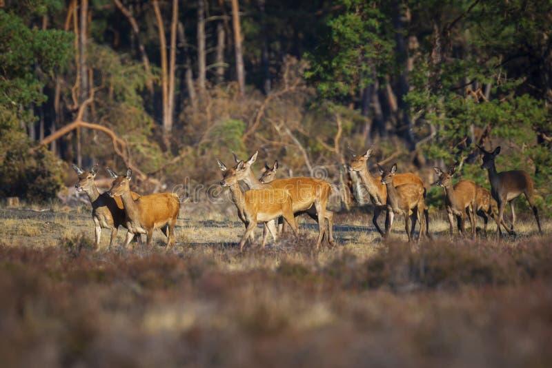 Το κοπάδι των κόκκινων ελαφιών κάνει ή hinds του elaphus Cervus περπατώντας έξω ενός δάσους στοκ φωτογραφίες με δικαίωμα ελεύθερης χρήσης