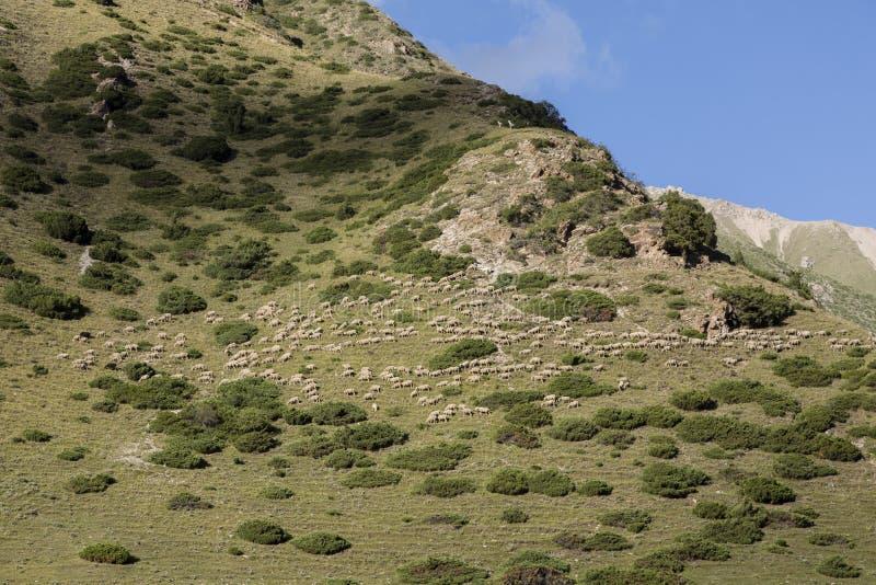Το κοπάδι των προβάτων μεταναστεύει σε μια βουνοπλαγιά στην κοιλάδα στοκ εικόνες