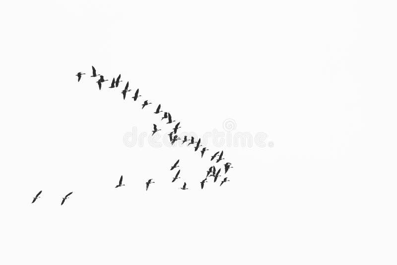 Το κοπάδι των πουλιών μεταναστεύει στα θερμότερα μέρη/τη γραπτή φωτογραφία στοκ εικόνες με δικαίωμα ελεύθερης χρήσης