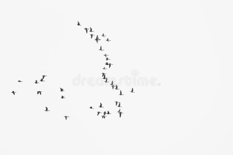Το κοπάδι των πουλιών μεταναστεύει στα θερμότερα μέρη/τη γραπτή φωτογραφία στοκ φωτογραφίες με δικαίωμα ελεύθερης χρήσης
