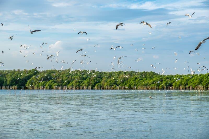 Το κοπάδι seagulls μεταναστεύει πετώντας στο δάσος μαγγροβίων στον κόλπο στοκ φωτογραφίες με δικαίωμα ελεύθερης χρήσης