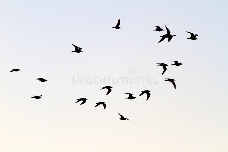 Το κοπάδι shorebirds μεταναστεύει νότος στοκ εικόνες