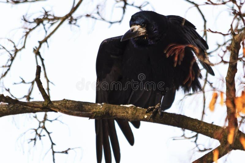 Το κοράκι ζυμώνει τα φτερά καθμένος σε έναν κλάδο στοκ εικόνες με δικαίωμα ελεύθερης χρήσης