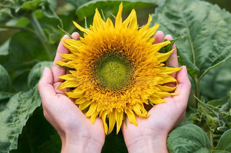 Το κορίτσι με τα χέρια της αγκαλιάζει τον ηλιόλουστο ηλίανθο Η έννοια της εσωτερικής καλλιέργειας, ενότητα με τη φύση, τα δώρα τη στοκ εικόνα με δικαίωμα ελεύθερης χρήσης