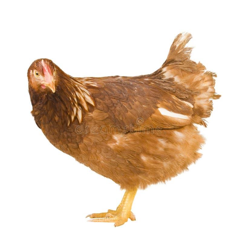 Download το κοτόπουλο ανασκόπησ&eta στοκ εικόνα. εικόνα από γεωργίας - 13187847