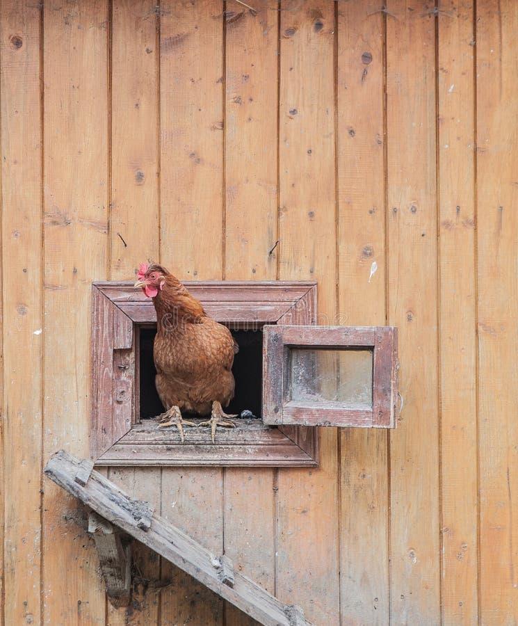 Το κοτόπουλο βγαίνει από το κοτέτσι κοτόπουλου στοκ φωτογραφίες με δικαίωμα ελεύθερης χρήσης