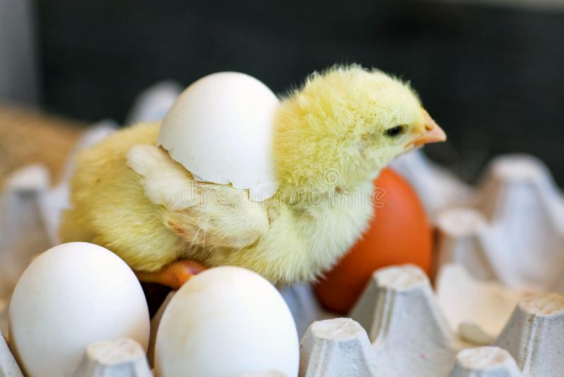 Το κοτόπουλο, που εκκολάπτεται από το αυγό στοκ εικόνα