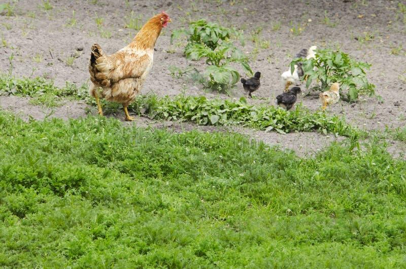 Το κοτόπουλο φροντίζει τα κοτόπουλα στοκ εικόνα