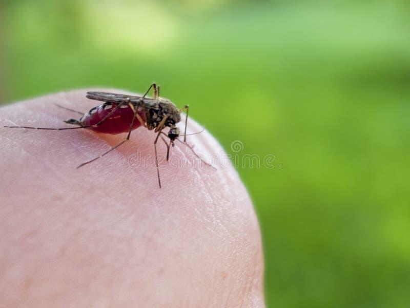 Το κουνούπι κάθεται στο δάχτυλό σας και πίνει τη μακροεντολή αίματος στοκ εικόνες