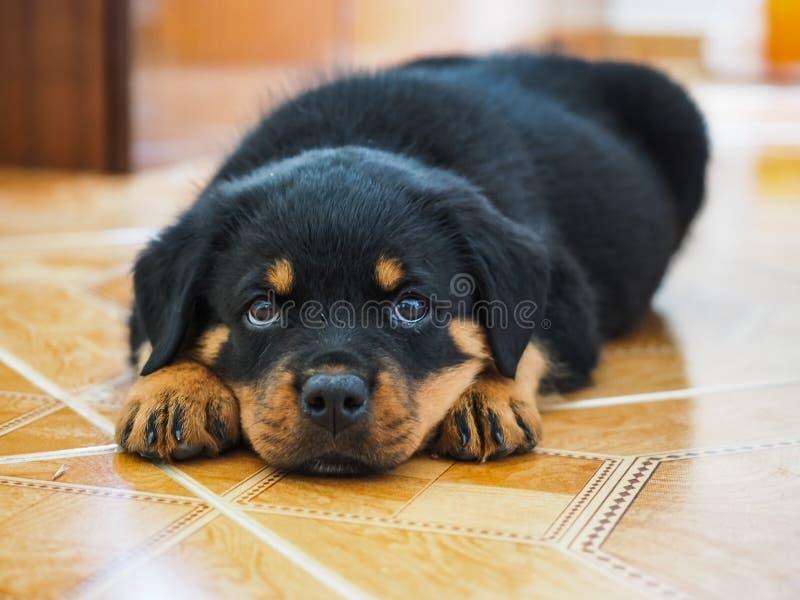 Το κουρασμένο κουτάβι Rottweiler στοκ φωτογραφίες