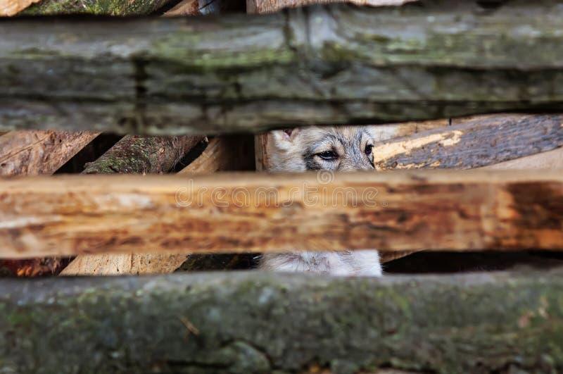 Το κουτάβι εξετάζει το εξωτερικό πίσω από έναν φράκτη στοκ φωτογραφίες με δικαίωμα ελεύθερης χρήσης