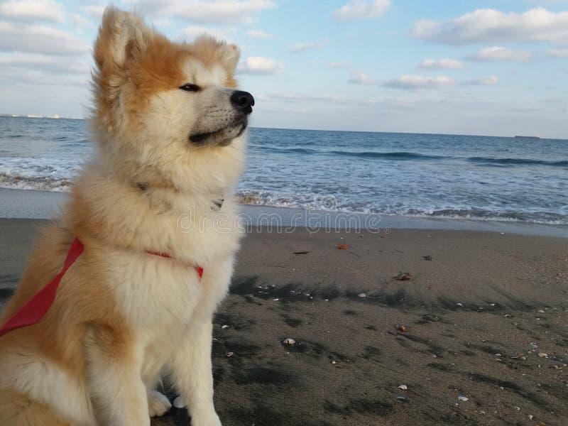 Το κουτάβι Akita χνουδωτό αντέχει τη θάλασσα στοκ εικόνα