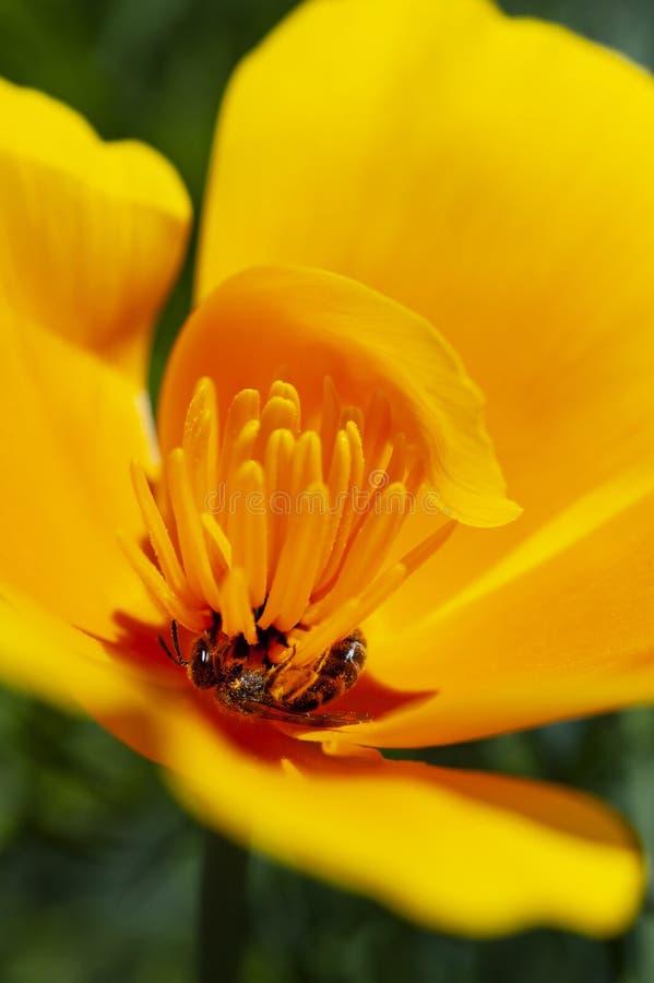 Το κρατικό λουλούδι Καλιφόρνιας, η παπαρούνα Καλιφόρνιας, ανοίγει τα πέταλά του καθημερινά για τον ήλιο και τη γονιμοποίηση στοκ εικόνα με δικαίωμα ελεύθερης χρήσης