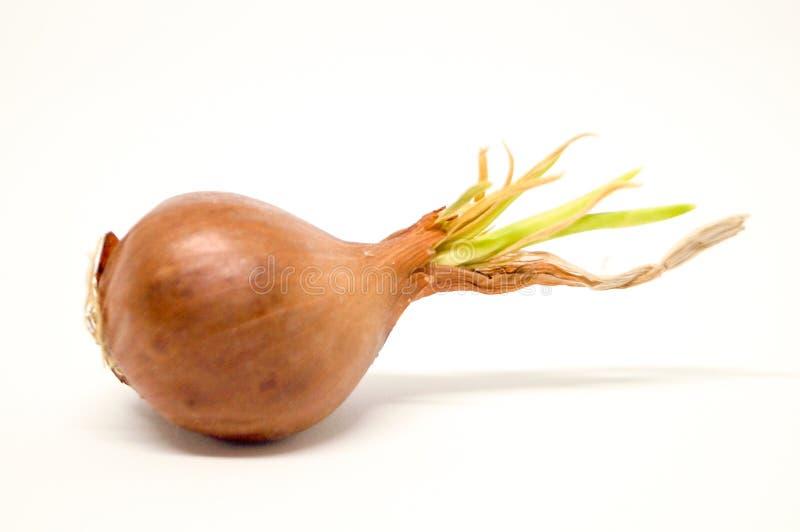 Το κρεμμύδι αυξάνεται, red-brown περικοπή χρώματος με πράσινο στην κορυφή στοκ εικόνες