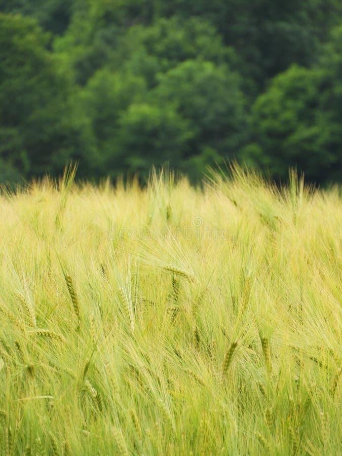Το κριθάρι είναι μια χρυσή συγκομιδή σιταριού που αυξάνεται στην κατακόρυφο NYS FingerLakes στοκ φωτογραφία με δικαίωμα ελεύθερης χρήσης