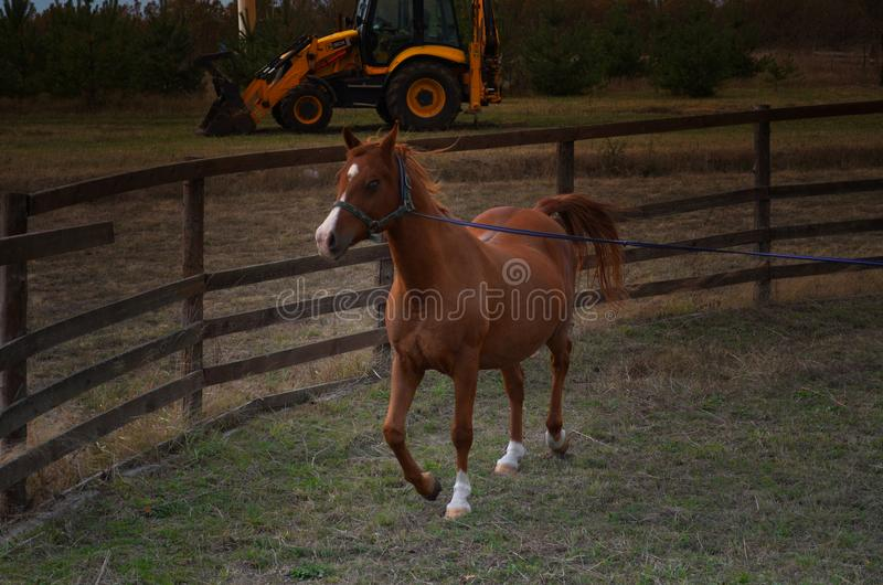 Το κόκκινο άλογο εκπαιδεύει στο σκοινί στοκ εικόνα
