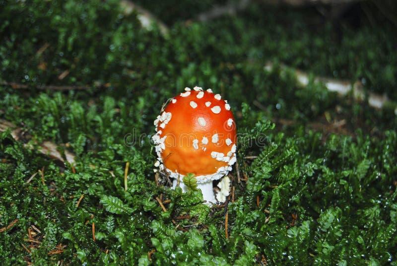Το κόκκινο αγαρικό μυγών μανιταριών αυξάνεται στο δάσος στοκ εικόνες