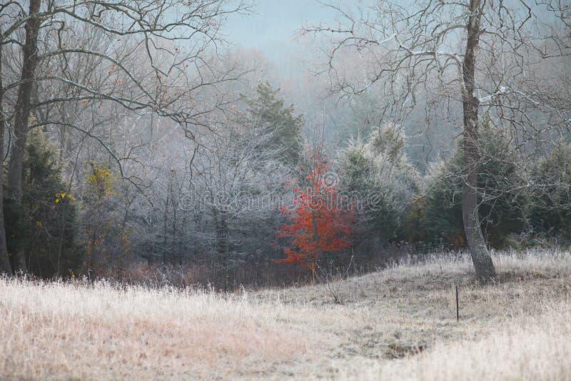 Το κόκκινο δέντρο σφενδάμνου κρατά επάνω στα φύλλα του στο παγωμένο πρωί στοκ εικόνες