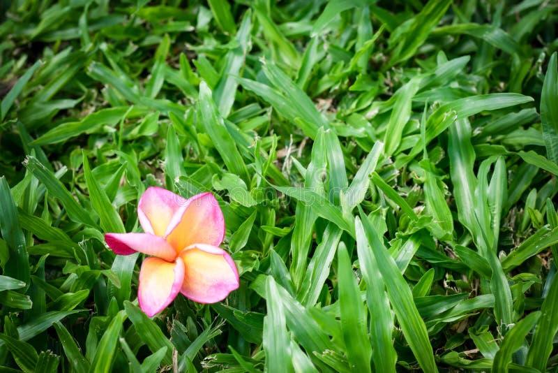 το κόκκινο κίτρινο και άσπρο λουλούδι plumeria είναι πτώση στην πράσινη χλόη στοκ φωτογραφία με δικαίωμα ελεύθερης χρήσης
