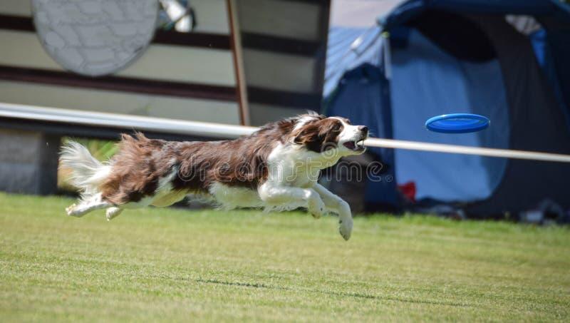 Το κόκκινο κόλλεϊ συνόρων στον ανταγωνισμό frisbee μπορεί να πετάξει στοκ φωτογραφία με δικαίωμα ελεύθερης χρήσης