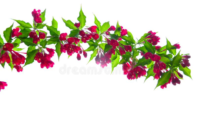 Το κόκκινο λουλούδι και το πράσινο φύλλο απομόνωσαν το άσπρο υπόβαθρο στοκ φωτογραφία με δικαίωμα ελεύθερης χρήσης