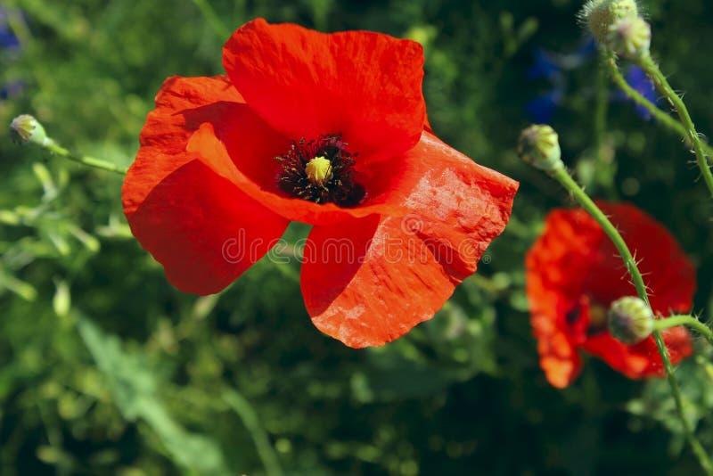 Το κόκκινο λουλούδι παπαρουνών, κλείνει επάνω Ζωηρόχρωμο υπόβαθρο λουλουδιών στοκ εικόνες με δικαίωμα ελεύθερης χρήσης