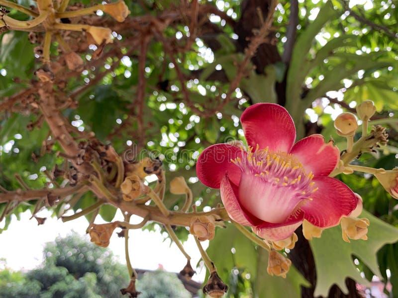 Το κόκκινο λουλούδι Sala είναι ανθίζοντας, Shorea robusta, Dipterocarpaceae, τα ινδικά σκληρά δέντρα είναι σημαντικά στο βουδισμό στοκ φωτογραφίες με δικαίωμα ελεύθερης χρήσης