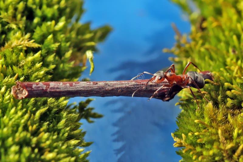 Το κόκκινο μυρμήγκι διασχίζει τον ποταμό σε ένα κούτσουρο στοκ εικόνες