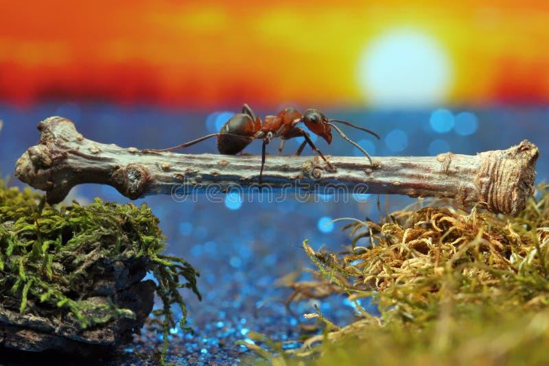 Το κόκκινο μυρμήγκι διασχίζει τον ποταμό σε ένα κούτσουρο στοκ φωτογραφίες